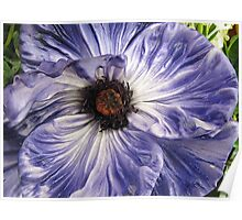 Phony Purple Poppy  Poster