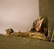 New-born Robins by Robin Hecker