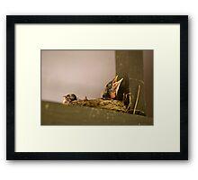 New-born Robins Framed Print