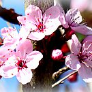 Cherry Blossoms by ©The Creative  Minds