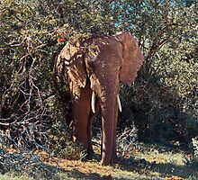 In the Shade African Elephant – Loxodonta africana by Warren. A. Williams