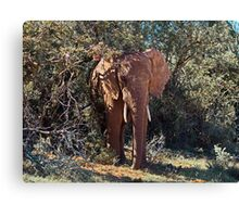 In the Shade African Elephant – Loxodonta africana Canvas Print