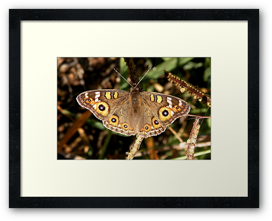 Meadow Argus – Junonia villida by Trish Meyer