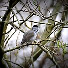 """"""" Evening Song """" (The Blackcap)  by Richard Couchman"""