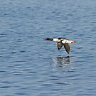 Male Common Merganser In Flight by Thomas Young