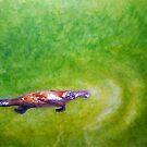"""Afloat"" - Platypus (Ornithorhynchus anatinus). by Laura Grogan"