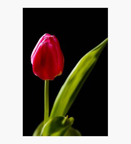 tulip red green black Photographic Print