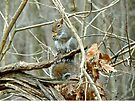 Gray Squirrel - Sciurus carolinensis by MotherNature