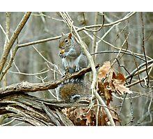 Gray Squirrel - Sciurus carolinensis Photographic Print