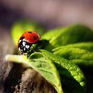 My first Ladybug of Spring 2014 by Tamara Brandy