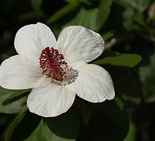 Bright White Hibiscus With a Ruby Red Heart by Georgia Mizuleva