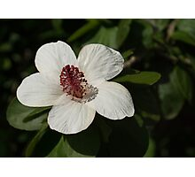 Bright White Hibiscus With a Ruby Red Heart Photographic Print