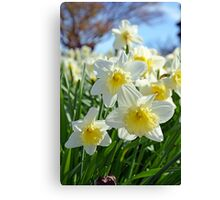 White and yellow spring daffodils Canvas Print