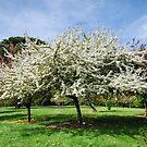 Apple trees  by DebbyScott
