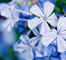 Piccoli Fiori Blu by Emily Rose