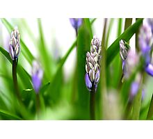 Blue bells have arrived..It must be Spring!!! Photographic Print