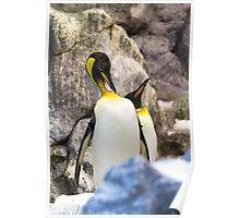 Preening King penguin (Aptenodytes patagonicus) Poster