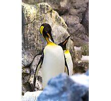 Preening King penguin (Aptenodytes patagonicus) Photographic Print