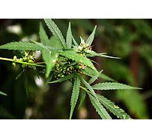 Cannabis II Photographic Print