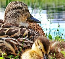 Duckling cuddling with mom by BBrightman