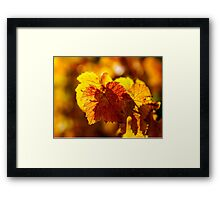 Colorful golden leaves of grape, Alsace Framed Print