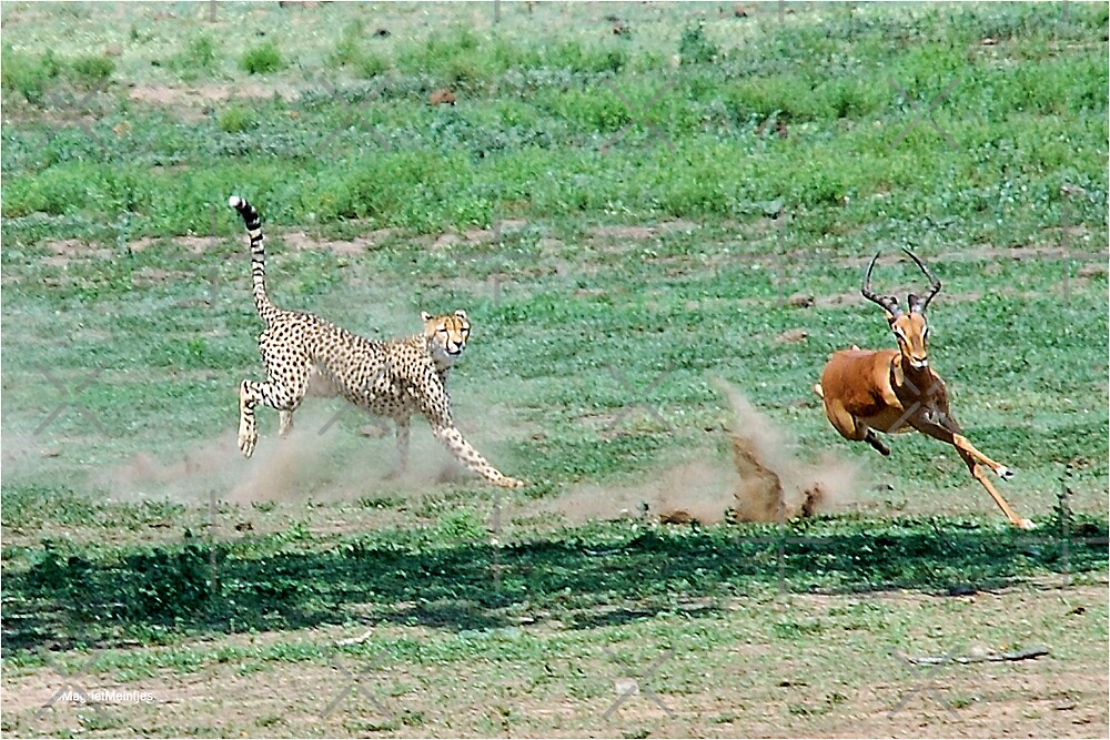 A DAY IN THE LIFE OF A CHEETA - CAPTURE FIVE - CHEETAH – Acinonyx jabatus – Die Jagluiperd by Magriet Meintjes