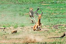 A DAY IN THE LIFE OF A CHEETA - CAPTURE SIX - CHEETAH – Acinonyx jabatus – Die Jagluiperd by Magaret Meintjes