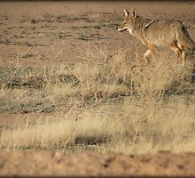 Coyote Watch by Kimberly Chadwick