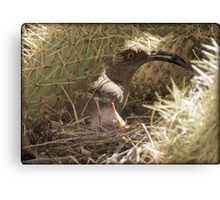 Curved-billed Thrasher with Gentle Babe Canvas Print