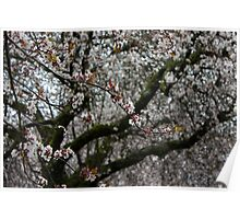 White Cherry Blossoms and Russet Buds Poster