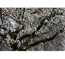 White Cherry Blossoms and Russet Buds Photographic Print