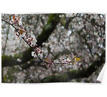 White cherry blossoms - Single strand Poster