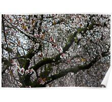 Cherry Blossom White Poster