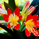 Clivia by Luke Lansdale