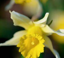 wild daffodils Sticker