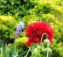 Red Oriental Poppy by MidnightMelody