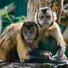 Tufted Capuchin Monkeys by Chris  Randall
