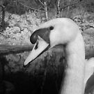 Swan 2 by SylviaHardy