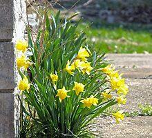 Daffodils by Susan S. Kline