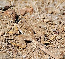 Desert Collared Lizard by Jared Manninen