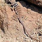 Great Basin Collared Lizard by Jared Manninen