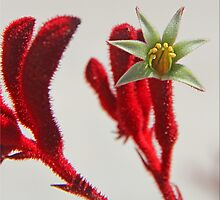 Kangaroo Paw by Chet  King