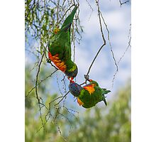 Loving Lorikeets Photographic Print