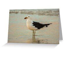 Black Tailed Gull, Henley Beach, Australia Greeting Card