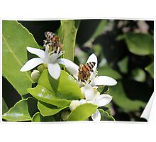 Bees Pollinating Fruit Trees Poster