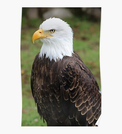 American Bald Eagle on a Roost Poster