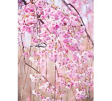 Black Cap Chickadee & Pink Weeping Willow Photographic Print
