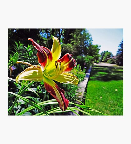 Beautiful Garden Lily Photographic Print