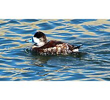 Male Ruddy Duck Photographic Print
