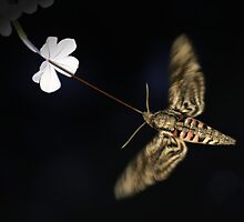 Convolvulus Hawk-Moth by jimmy hoffman
